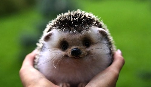 cute-smiling-animal-hedgehog